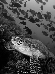 Turtle on the Alam Batu housereef by Beate Seiler