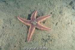 Astropecten spiny sea star on the silty bottom of Mahuran... by Daniel Poloha