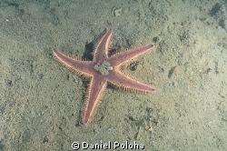 Astropecten spiny sea star on the silty bottom of Mahuran... by Daniel Poloha