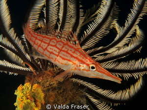 A longnose hawkfish in its favourite spot. by Valda Fraser