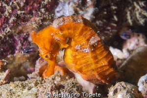 Orange Sea Horse, Acapulco Mexico by Alejandro Topete