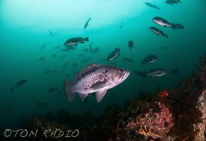 School of Black Rockfish Hood Canal, WA, U.S.A. by Tom Radio