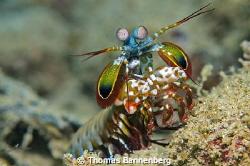 "Mantis shrimp (Stomatopoda)  NIKON D7000 in a Seacam ""P... by Thomas Bannenberg"