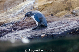Pinguin with water, Galapagos Ecuador by Alejandro Topete