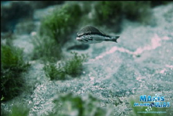 Comber Fish - Canon5d Mark2 - Canon 27-80 f2,8 - Nimar Ho... by Makis Markoulias