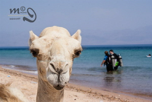 CAMEL DIVING Another lazy diving day in Nuweiba by Mona Dienhart