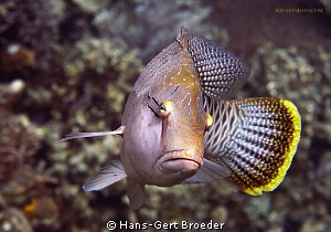 Napoleonfish