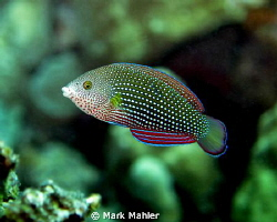 Female Pearl Wrasse, Nikon d7000 with 60mm macro, Kewalo ... by Mark Mahler