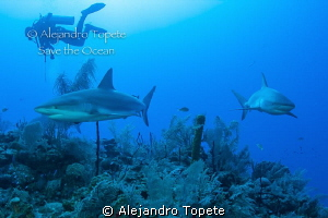 Shark's with Diver, Gardens of the Queen Cuba by Alejandro Topete