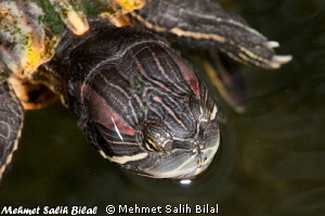 A turtle in Villa Markisa's pool in Tulamben. by Mehmet Salih Bilal