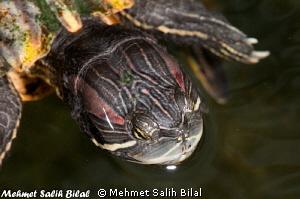 A turtle in Villa Markisa's pool in Tulamben. by Mehmet Salih Bilal