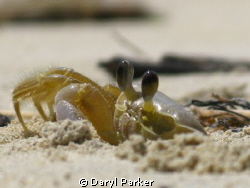 sand crab f4.8 1/1600sec ISO80,Waiting pays off getting c... by Daryl Parker