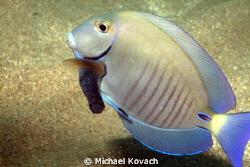 Cymothoid Isopod attached to a Doctorfish on the way to t... by Michael Kovach