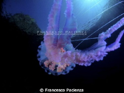 Mauve stinger Pelagia noctiluca under the castle. by Francesco Pacienza