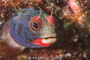 Blenny face,Acapulco Mexico by Alejandro Topete