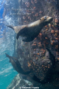 Litle Sea Lion playing, La Paz Mexico by Alejandro Topete