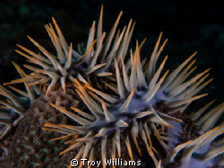 Reef Eater Crown of thorns making it's way through the r... by Troy Williams