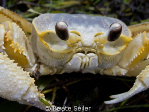 Sand crab by Beate Seiler