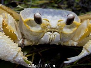 Sand crab by Beate Seiler