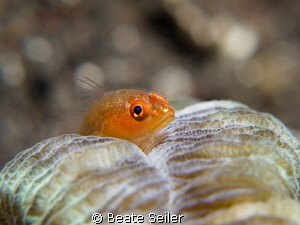 Small blennie on a coral by Beate Seiler