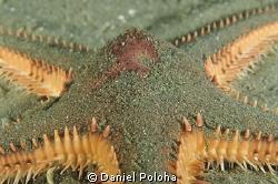Astropecten spiny sea star by Daniel Poloha