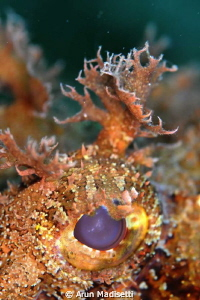 Eye of scorpion fish. Testing a RTR -Cuttlefish ringflash by Arun Madisetti