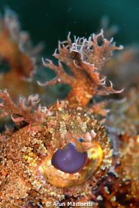 Eye of scorpion fish. Testing a RTR -Cuttlefish ringflash by Arun Madisetti