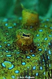 Peacock flounder, RTR-Cuttlefish ringflash by Arun Madisetti