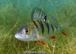 perch in a german lake by Andre Philip