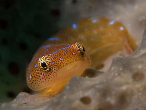 Eastern Cleaner Clingfish, Bare Island by Doug Anderson