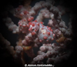 Pregnant Pygmy Seahorse by Azman Kamaluddin