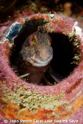 Small blenny (Parablennius pilicornis) living inside a lo... by Joao Pedro Tojal Loia Soares Silva