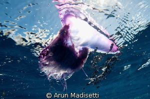 Physalia and attendant Man o war fish, open ocean by Arun Madisetti