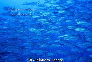Group of Jack's, San benedicto Mexico by Alejandro Topete