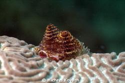 Christmas Tree Worm on Symmetrical Brain Coral on the  Bi... by Michael Kovach