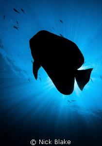 Batfish silhouette. Komodo, Indonesia. by Nick Blake