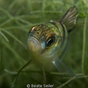 Perch close up by Beate Seiler