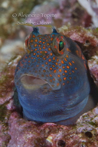 Blenny with spots, Acapulco Mexico by Alejandro Topete