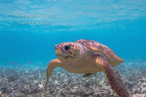 Cahuama Turtle, Hol Chan Belize by Alejandro Topete