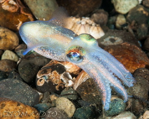 Stubby Squid eating a shrimp