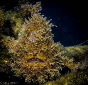 Hairy frogfish taken in Lembeh strait, f16 1/200 iso 100 by Greg Duncan