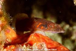 Conenmarra clingfish (Mirbelia candolii) clearly showing ... by Joao Pedro Tojal Loia Soares Silva