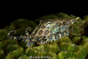 Blue-Ringed Octopus, F16, 1/200, 100mm macro by Luke Gordon