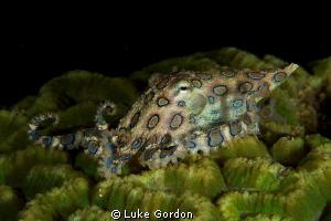 Blue-Ringed Octopus, F16, 1/200, 100mm macro by Luke Gordon