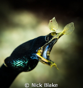 Ribbon Eel. Komodo, Indonesia by Nick Blake