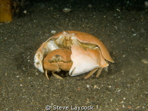 Box crabs at night- Olympus E330 - and twin epoque 230 st... by Steve Laycock