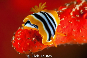 Nudi on a red coral by Gleb Tolstov