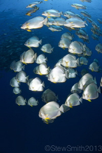 Batfish starting to gather at Ras Mohammed by Stew Smith