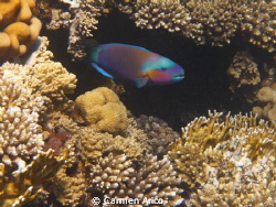 I'd followed this specific parrot fish for a couple of mi... by Carmen Arico