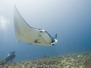 Manta and diver by Steve Laycock